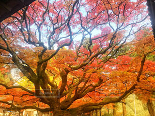 雷山の大楓の写真・画像素材[880202]