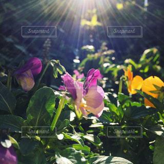 花の写真・画像素材[692038]