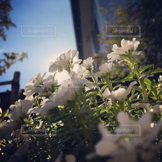 花の写真・画像素材[692039]