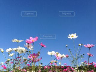 ピンクの花のグループの写真・画像素材[762025]
