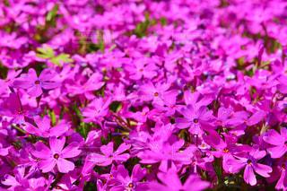 近くに紫の花のアップの写真・画像素材[1046310]