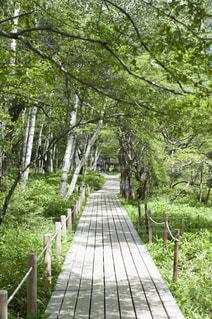 木道と新緑の写真・画像素材[1020035]
