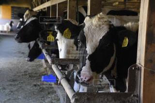 部屋に立っている牛の写真・画像素材[1591814]