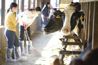 小学生酪農体験プログラムの写真・画像素材[1591815]