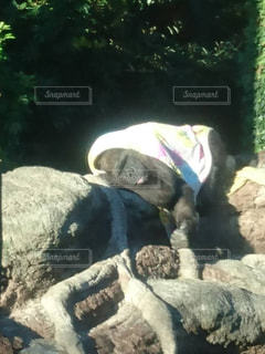 寝ているゴリラの写真・画像素材[862219]