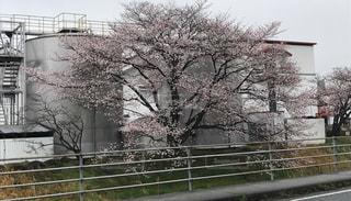 桜 枝垂れ桜 ピンク 春の写真・画像素材[695750]