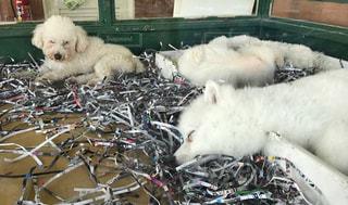 子犬 ペットショップ 白色 昼寝の写真・画像素材[695772]