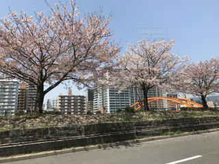 桜 春 ピンク 桜満開 お花見の写真・画像素材[697574]