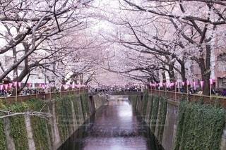桜 - No.734600