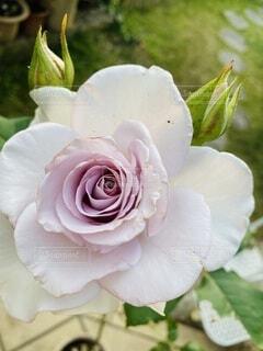 紫色のバラの写真・画像素材[3645751]