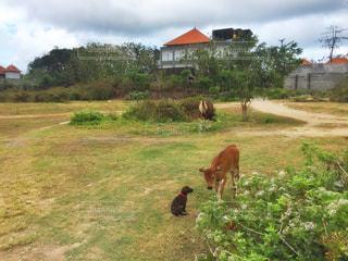 緑豊かな緑の草原に放牧牛の群れの写真・画像素材[717736]