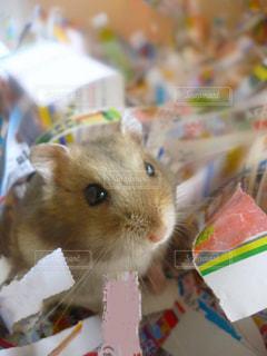 食べ物を食べる齧歯動物の写真・画像素材[705643]