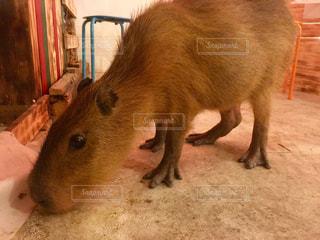 カメラを見て齧歯動物の写真・画像素材[746254]