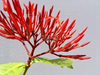 植物の赤い花の写真・画像素材[789447]