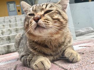 カメラを見ている猫の写真・画像素材[817817]