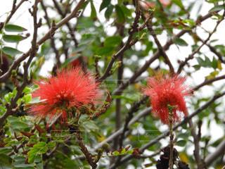 木からぶら下がっている赤い花の写真・画像素材[914944]