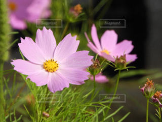 近くの花のアップの写真・画像素材[917983]