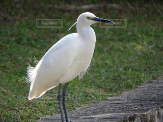 草の中の大きな白い鳥立ちの写真・画像素材[917987]
