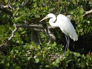 枝に大きい白い鳥立ちの写真・画像素材[917989]