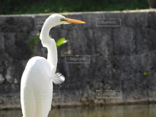 水の体の前に大きな白い鳥立つの写真・画像素材[917990]