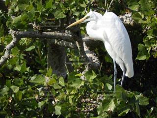 白い鳥が木の枝に止まってください。の写真・画像素材[917992]