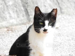 猫の黒と白の写真の写真・画像素材[917994]