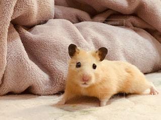 ベッドの上に座っている齧歯動物の写真・画像素材[982338]