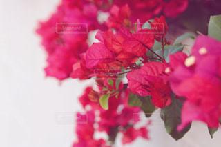 花🌸の写真・画像素材[1057067]