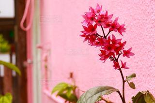 ピンクの花と壁の写真・画像素材[1086799]