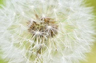 たんぽぽの綿毛の写真・画像素材[1202902]