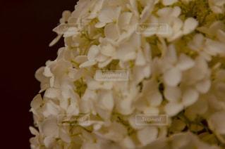 紫陽花の写真・画像素材[1202904]