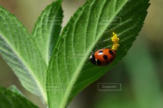 葉の裏のてんとう虫の写真・画像素材[1203216]