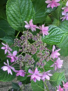 植物にピンクの花の写真・画像素材[1219685]