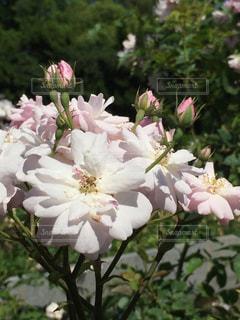 近くの花のアップの写真・画像素材[1233463]
