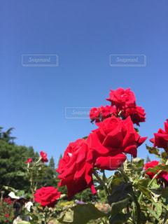 赤い花の上に座って花の花瓶の写真・画像素材[1233465]