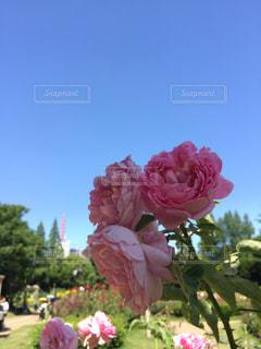 植物にピンクの花の写真・画像素材[1233467]