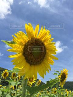 黄色の花の写真・画像素材[1321939]