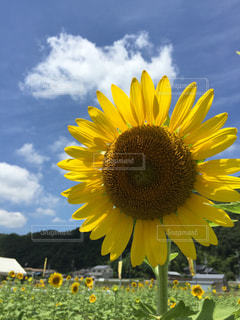 黄色い花の写真・画像素材[2293805]