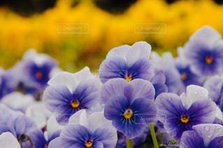 黄色い花のクローズアップの写真・画像素材[2374142]