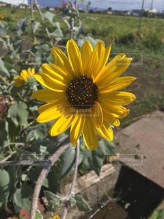 黄色の花の写真・画像素材[752551]