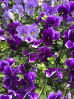 花の写真・画像素材[1093974]