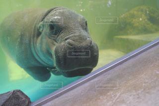 水中を泳ぐ動物の写真・画像素材[706223]