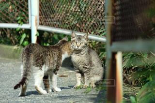 フェンスの前に立っている猫の写真・画像素材[1137469]