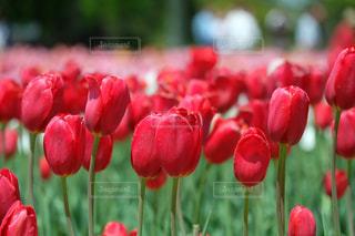 赤色チューリップの写真・画像素材[1160033]