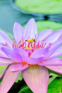 睡蓮と蜂の写真・画像素材[1183217]