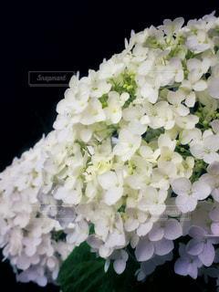 紫陽花の写真・画像素材[1208862]