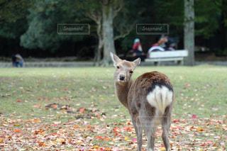 見返り鹿さんの写真・画像素材[1473109]