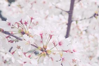 遠い春よの写真・画像素材[1715750]