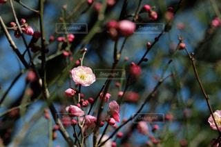 梅の木の写真・画像素材[1736201]