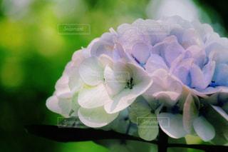 紫陽花の写真・画像素材[2237882]